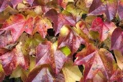 Feuilles d'automne s'élevant sur le mur Image stock