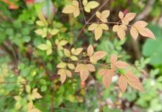 Feuilles d'automne se transformant lentement en rouge photo libre de droits