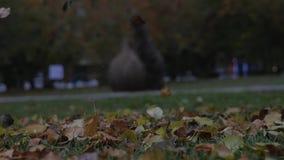 Feuilles d'automne d'automne sur l'herbe verte Chute de feuille d'automne de saison clips vidéos
