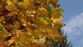 Feuilles d'automne sur le soleil Lames sur l'arbre d'automne banque de vidéos