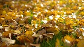 Feuilles d'automne tombées jaunes sur l'herbe dans la lumière de matin banque de vidéos