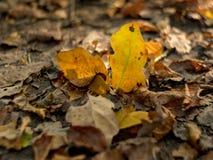 feuilles d'automne d'un chêne illuminé de la lumière du soleil photographie stock libre de droits