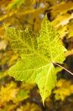 Feuilles d'automne vertes Photos stock