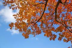 Feuilles d'or d'érable et ciel bleu Image stock