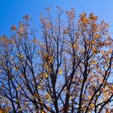 Feuilles d'or d'automne sur des branches d'arbre en ciel images stock