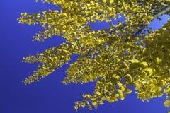 Feuilles d'or de Ginko photo libre de droits