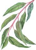 Feuilles d'eucalyptus Image stock