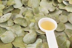 Feuilles d'eucalyptus et eucalyptus d'huile cinerea Image stock