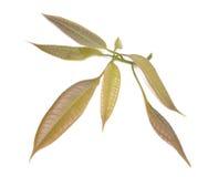 Feuilles d'isolement de mangue de vert de groupe coupées Image stock