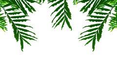Feuilles d'isolement de vert sur un fond blanc Images stock