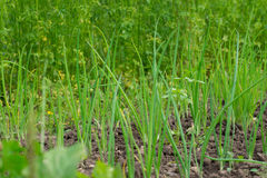 Feuilles d'oignon vert s'élevant sur des lits de jardin Images libres de droits
