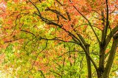 Feuilles d'orange d'arbre vibrant coloré, vertes et jaunes de vantardise images stock