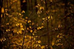 Feuilles d'or rétro-éclairées en nature Image stock