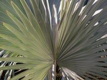 Feuilles d'un palmier de palmyra de borassus image libre de droits