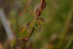 feuilles d'une rose Images stock