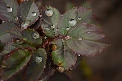 feuilles d'une rose Image libre de droits