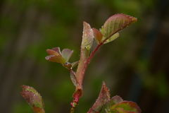feuilles d'une rose Photos stock
