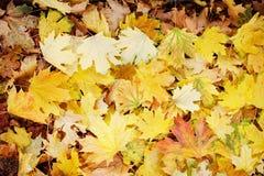 Feuilles dans diverses couleurs automnales Feuillage d'automne Image libre de droits