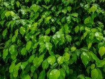 Feuilles dans la saison des pluies Photo stock