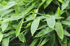 Feuilles de bambou appelées et de x22 ; Kumazasa& x22 ; Photo stock