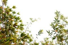 Feuilles de bambou sur le fond blanc Images stock