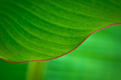 Feuilles de banane. Photos stock