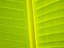 Feuilles de banane Image stock