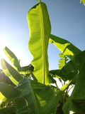 feuilles de banane avec le ciel de bule Photographie stock libre de droits