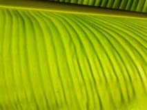 Feuilles de banane de feuille verte fraîche de contre-jour photographie stock