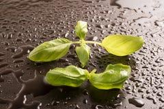 Feuilles de Basil sur un fond noir humide Image stock