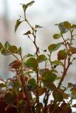 Feuilles de Begonia Grandis Fond Concept d'accroissement photographie stock