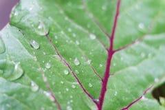 Feuilles de betterave Plan rapproché d'une feuille rétro-éclairée de betterave fourragère Produit-légumes frais de vegetables Image stock