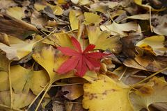 Feuilles de biloba et d'érable de Ginkgo, paysage d'automne, branches défraîchies et feuilles un peu de rouge ! photo libre de droits