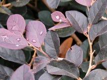 Feuilles de Blueviolet avec des gouttes de pluie Images libres de droits