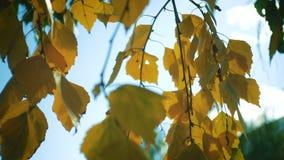 Feuilles de bouleau d'automne sur une fin de vent  banque de vidéos
