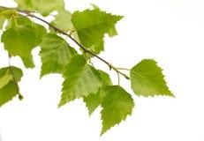 Feuilles de bouleau de l'arbre. Image libre de droits