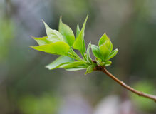 Feuilles de bourgeonnement d'arbre Image libre de droits