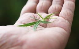 Feuilles de cannabis sur la paume Image stock