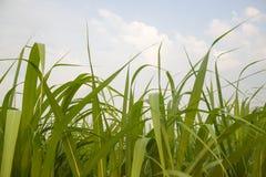 Feuilles de canne à sucre Photographie stock