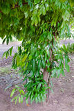 Feuilles de cannelle sur l'arbre photographie stock libre de droits