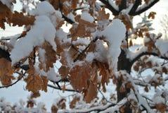 Feuilles de chêne couvertes par neige Photos stock