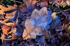Feuilles de chêne d'automne Photo stock