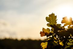 Feuilles de chêne d'automne contre un coucher de soleil photo stock