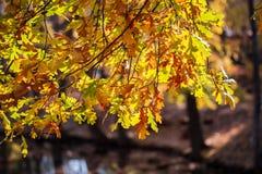 Feuilles de chêne jaune sur le fond brouillé Jour d'automne, feuilles en baisse Images stock