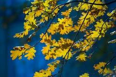 Feuilles de chêne jaune sur le fond brouillé Jour d'automne, feuilles en baisse Images libres de droits