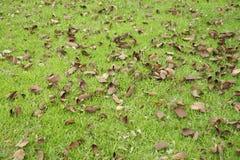 Feuilles de chute (arbre d'orchidée). Photographie stock