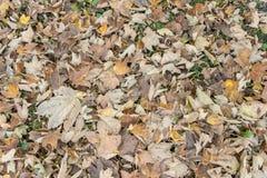 Feuilles de chute et le phénomène de couleurs changeantes d'automne photos stock