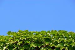 Feuilles de ciel bleu et de vert Photos libres de droits
