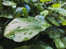 feuilles de cola de gotu image libre de droits