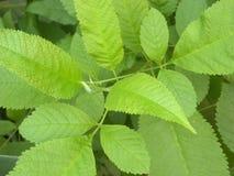 Feuilles de couleur verte d'arbre d'orme glissant images libres de droits